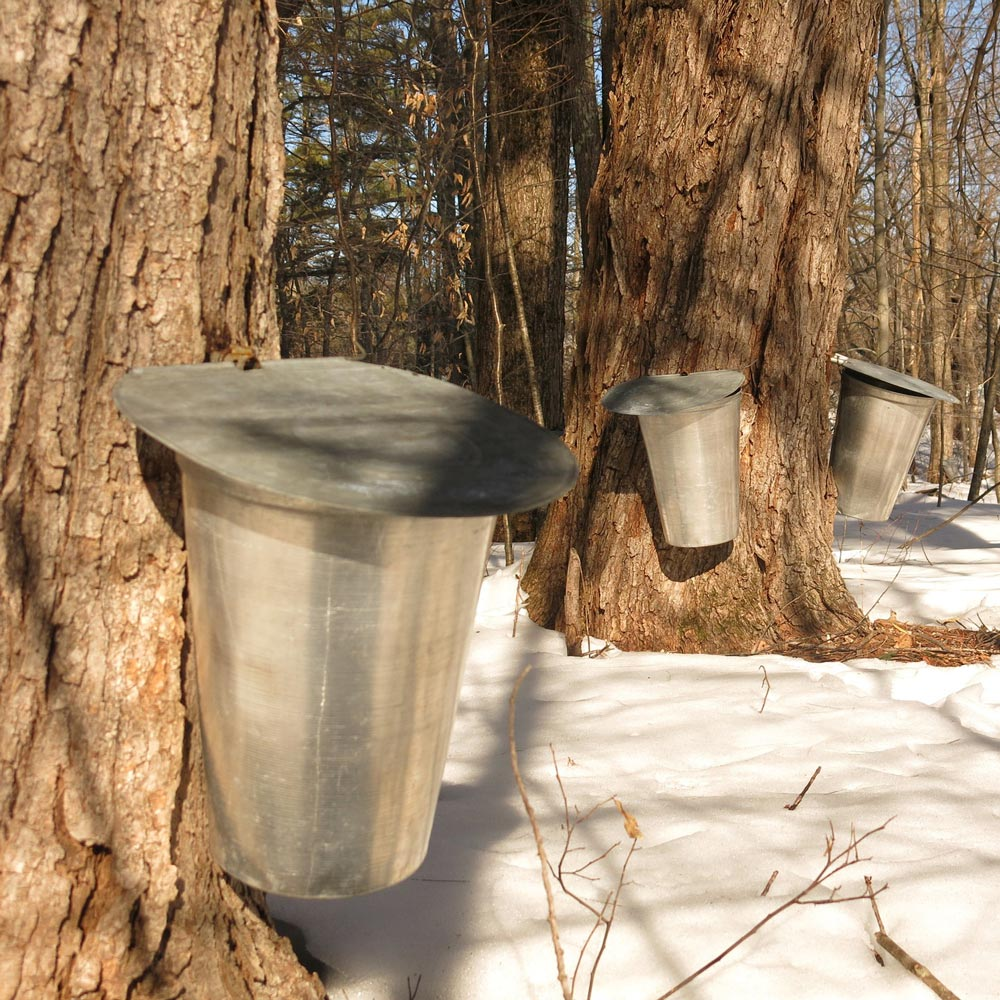 Maple syrup tapping with buckets