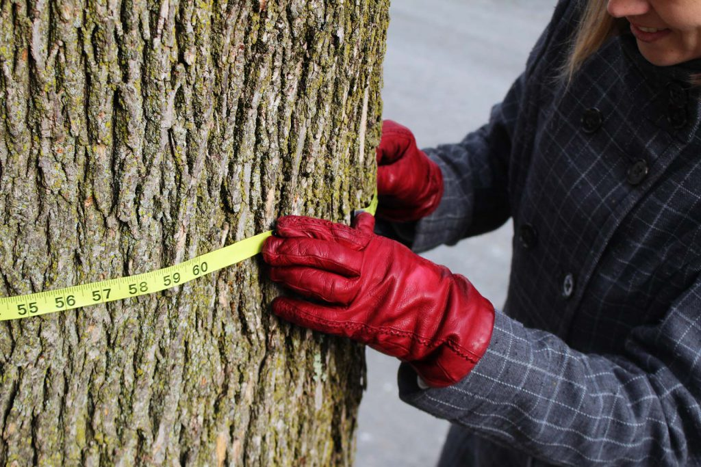Measuring Norway maple for backyard maple syrup tapping