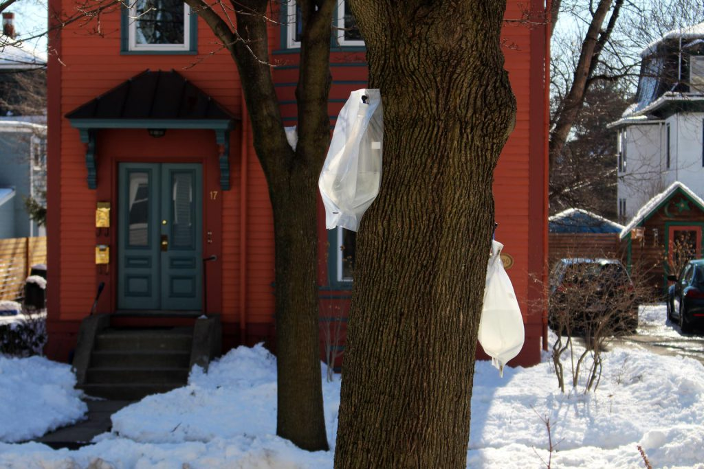 Sap collection bags on maple tree for backyard maple syrup making