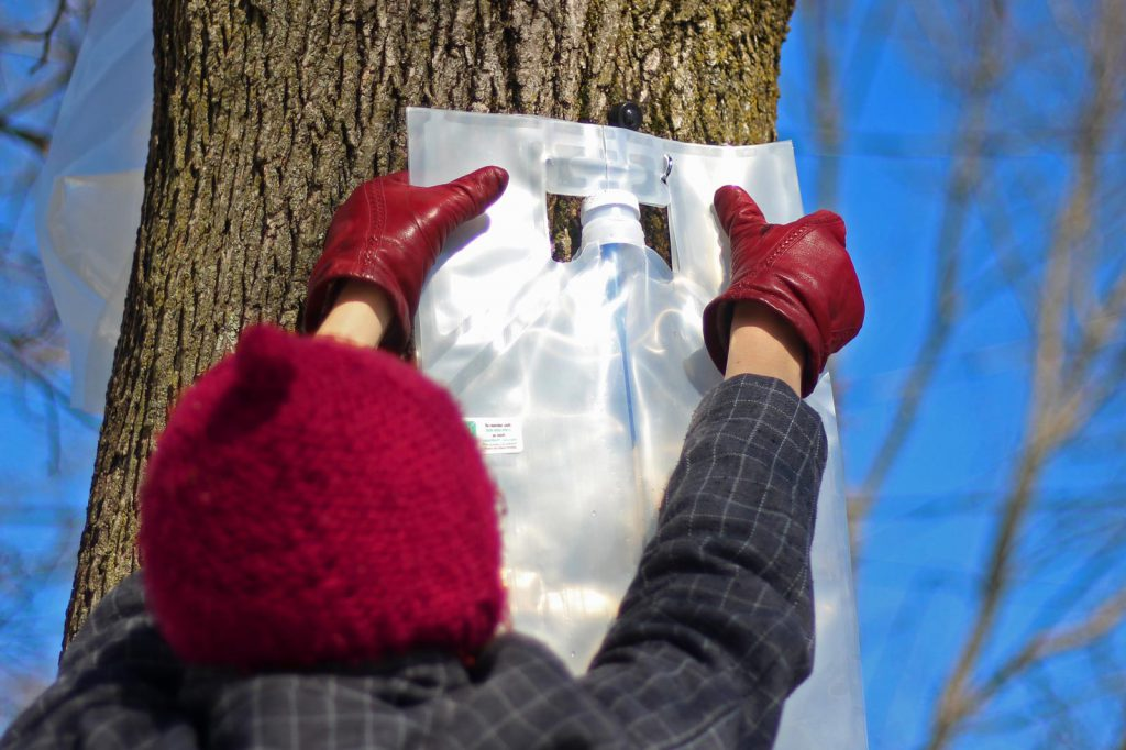Placing collection bag for collecting maple sap for small batch maple syrup making