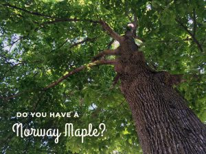 Yes, You CAN Tap a Norway Maple for Maple Syrup