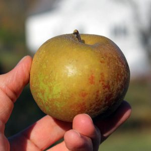 Heirloom apple - Ashmead's Kernal