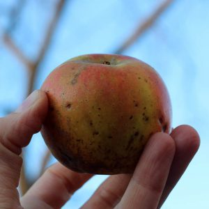 Heirloom apple - D'Arcy Spice