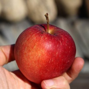 Heirloom apple - Esopus Spitzenburg