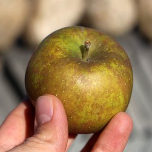 Heirloom apple - Golden Russet