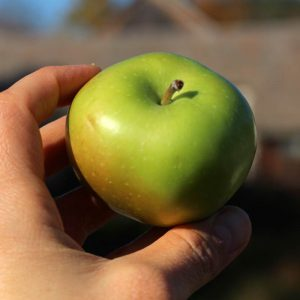 Heirloom apple - Greening Rhode Island